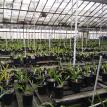 Rows and rows of Cymbidium orchids and seedlings